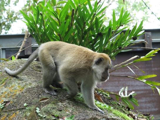 Ein Affe. Was für eine Art eigentlich?