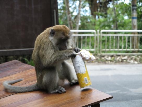 Leider wühlen die Affen gerne in touristischem Müll